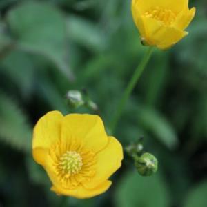 黄色の五弁の花が目立つ「キンポウゲ」(春の花 21-87)