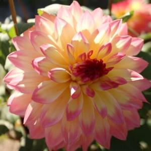 黄色の花弁の末端が桃色に染まるダリア「こころ」(ダリア・シリーズ 20-151)
