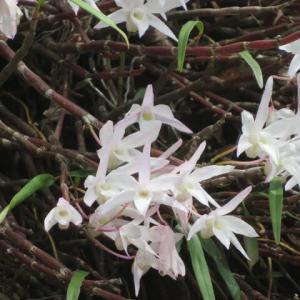 日本の野生の蘭として代表的な「セッコク」(高尾の花 21-56)