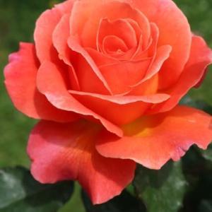 コーラル・ピンクの美しいバラ「タイフーン」(春薔薇シリーズ 21-089)