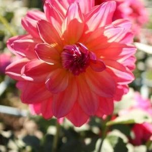 ピンクの花弁が黄色と赤を帯びるダリア「夢の人」(ダリア・シリーズ 20-163)