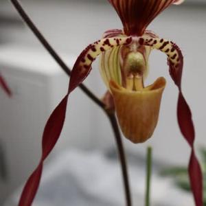 長く伸びた花弁がユニークなラン「パフィオペディルム・ペレニス・ステラ」(蘭シリーズ 21-031)
