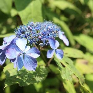紫色の大きな装飾花が特徴のヤマアジサイ「黒姫」(紫陽花シリーズ21-02)