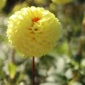黄色のポンポン咲きの小さなダリア「蛍星」(ダリア・シリーズ 20-164)
