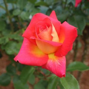 鮮明な赤の花弁の裏が黄色に染まるバラ「コロラマ」(春薔薇シリーズ 21-095)