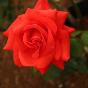 鮮やかな朱色のバラ「ローラ」(春薔薇シリーズ 21-098)