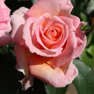 アプリコットにピンクが混じるバラ「センセーション」(春薔薇シリーズ 21-097)