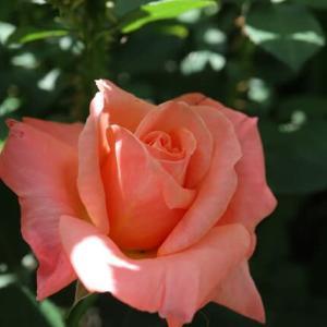 アプリコットにオレンジが混じるバラ「ペンショナーズ・ヴォイス」(春薔薇シリーズ 21-099)