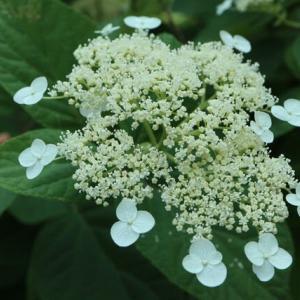 一重の白のガクアジサイ「ラディアータ」(紫陽花シリーズ21-06)