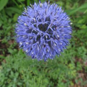 青い花が集まって丸くなる「エキノプス」(夏の花 21-023)