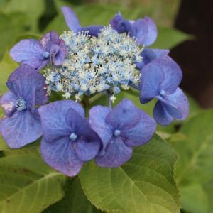 青の大きな花弁が目立つガクアジサイ「ブーフィンク」(紫陽花シリーズ 21-30)