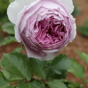 ライラック色のバラ「リラ」(春薔薇シリーズ 21-134)