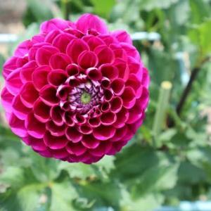 深みのある赤紫のダリア「数え唄」(ダリア・シリーズ 21-004)