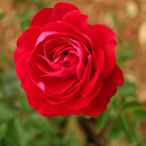 深紅のミニバラ「レッド・キャプテン」(春薔薇シリーズ 21-139)