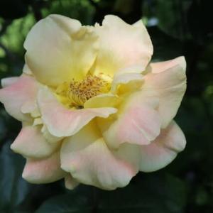 淡いピンクを帯びた黄色のバラ「おぼろ月夜」(春薔薇シリーズ 21-144)