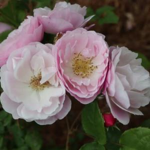 淡いピンクのカップ咲きのバラ「ベルスーズ」(春薔薇シリーズ 21-145)