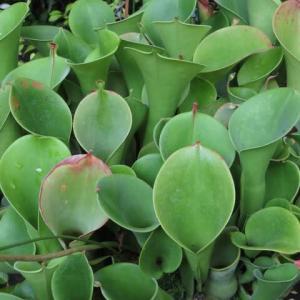 緑の漏斗状の花で虫を集める食虫植物「ヘリアンフォラ」(食虫植物シリーズ10)