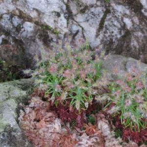 小さなモウセンゴケ科の食虫植物「ドロセラ・スコルピオイデス」(食虫植物シリーズ12)
