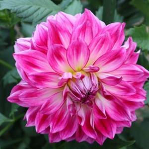 紫がかったピンクのどっしりとしたダリア「イーグルアイ」(ダリア・シリーズ 21-054)