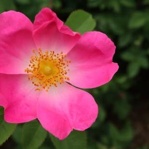 ピンクから赤へのグラデーションのきれいなバラ「コンプリカータ」(春薔薇シリーズ 21-188)