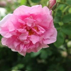 優しいピンクのバラ「マダム・ゼトマン」(春薔薇シリーズ 21-189)