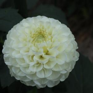純白の花弁がミルフィーユのように重なるダリア「ホワイトミルフィーユ」(ダリア・シリーズ 21-060)