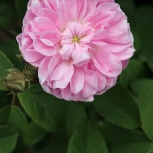 かわいいボタンアイをみせるピンクのバラ「プティット・リゼット」(春薔薇シリーズ 21-191)