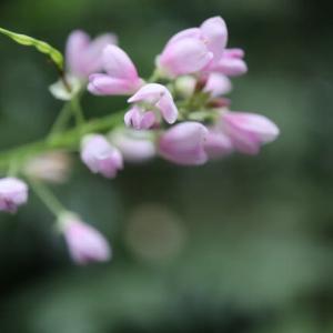 淡い紅色がやさしい「フジカンゾウ」(高尾の花 21-67)