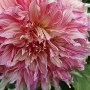 ピンクの大きな花弁に白が混じるダリア「天涯」(ダリア・シリーズ 21-062)