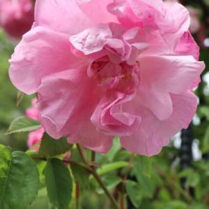 たおやかなピンクの花弁が入り組んだバラ「マダム・サンシー・ド・パラベール」(春薔薇シリーズ 21-193)