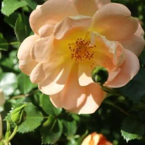優しいアプリコット色のバラ「ナイスンイージー」(春薔薇シリーズ 21-196)