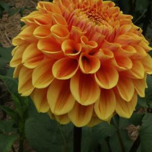 明るい橙色のダリア「オレンジ・サンシャイン」(ダリア・シリーズ 21-064)