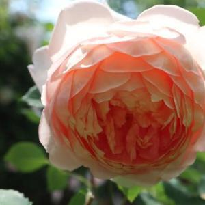 アプリコット色のロゼット咲きのバラ「カーデイングミル」(春薔薇シリーズ 21-197)