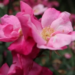 一重の色とりどりの花が咲くバラ「ムタビリス」(春薔薇シリーズ 21-198)