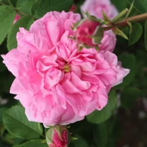 「五月のバラ」というシンプルな名前のつるバラ「ローズ・ド・メイ」(春薔薇シリーズ 21-201)