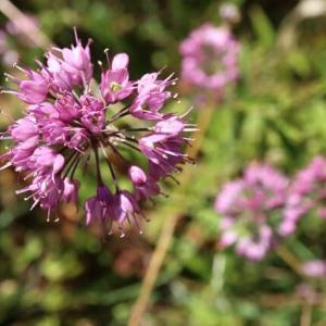紫色の球状の散形花序がユニークな「ヤマラッキョウ」(箱根の花 21-65)