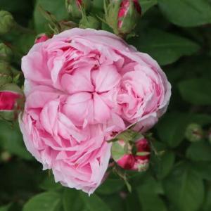やさしいピンクのロゼッタ咲きのバラ「マリー・ドゥ・サンジャン」(春薔薇シリーズ 21-225)