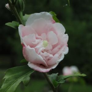 少し紅をさしたような美しい白の八重プルケリマス(槿シリーズ14)
