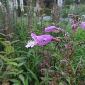 紫の花弁の下唇が大きく突き出すコシオガマ