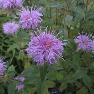 燃え上がる松明に似た花をつけるベルガモット