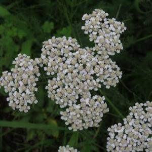清楚な印象を与えるハーブ植物のノコギリソウ