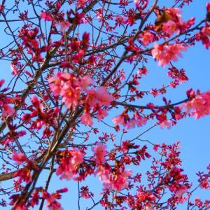 アササン おかめ桜 開花