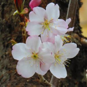 コロナ怪しい動向 桜は