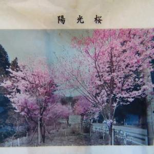 アササン 桜 桜