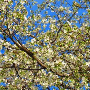 お買い物散歩  桜とメジロー2