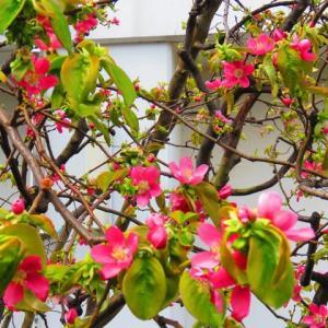 枝垂れ桜と桃の花