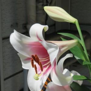 ウグイスの声と百合の花のコラボ