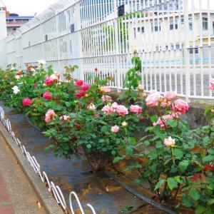 岡野公園の薔薇