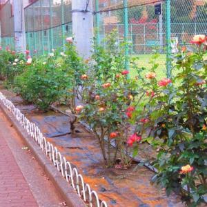 秋の薔薇 バラバラに開花