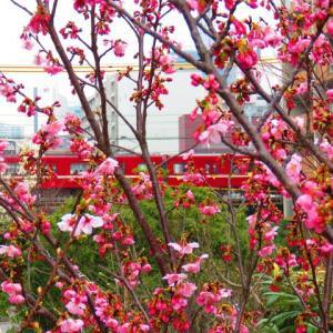 陽光桜にメジロ 終了間近 次は ?